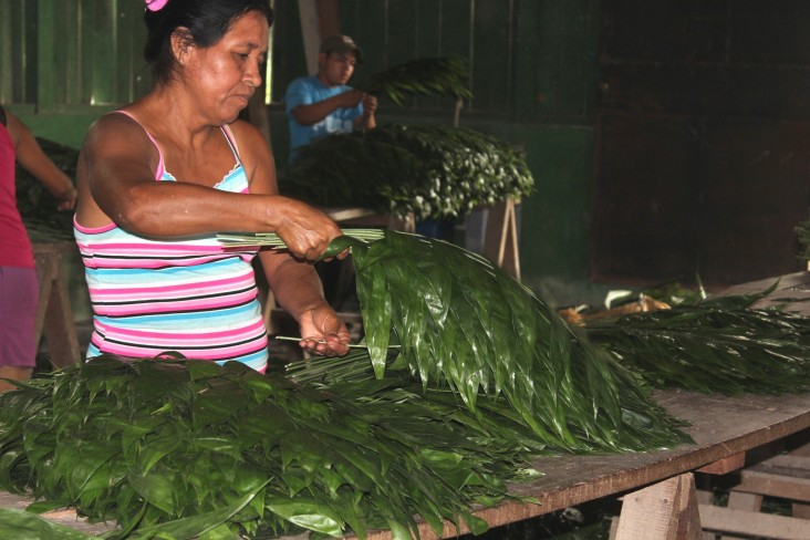 Community members in Uaxactún, Guatemala, sort through xate leaves for export.