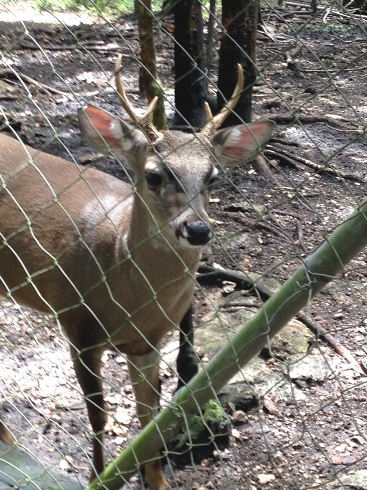 A trafficked deer at Arcas