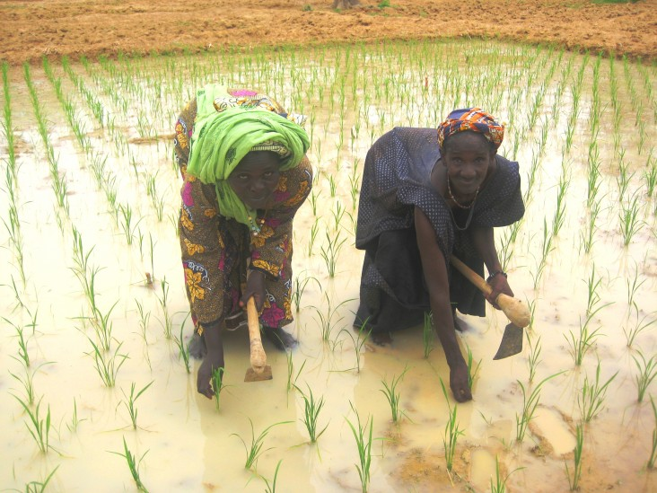 Malian women planting rice using new irrigation techniques.