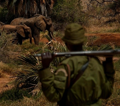 A community ranger in Kenya appears in foreground with gun over shoulders while observing family of elephants in the background.