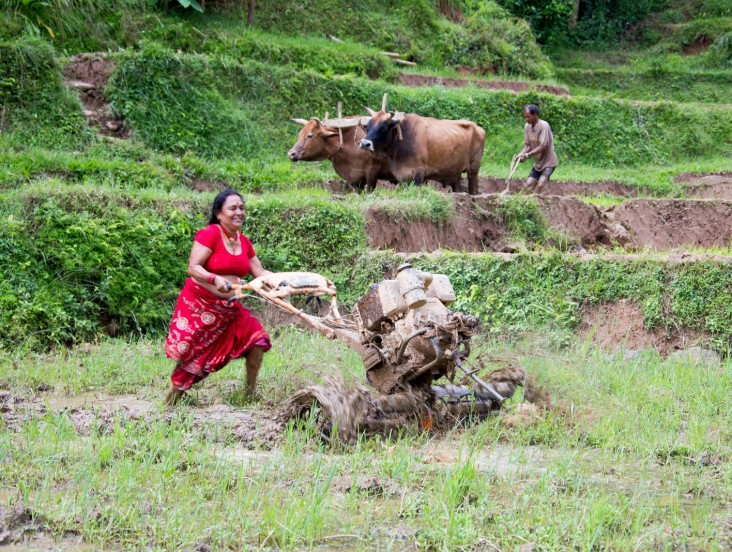Mitra Shrestha maneuvers the lightweight tiller in her paddy field.