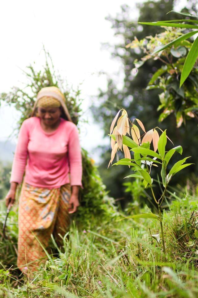Tej patta, or bay leaves, planted along slopes in Nepal help to reduce landslides and serve as a source of income for locals.