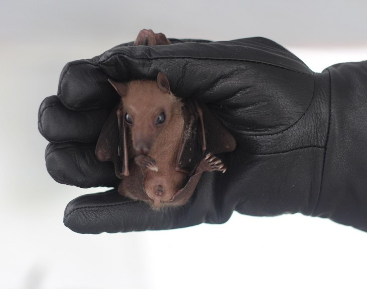 The Center for Molecular Dynamics Nepal collects bat DNA as part of efforts to prevent wildlife and human disease.