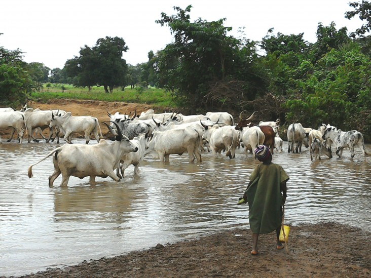 Of the 25 million Fulani in West Africa, about a third continue to live a traditional semi-nomadic lifestyle of herding cattle.