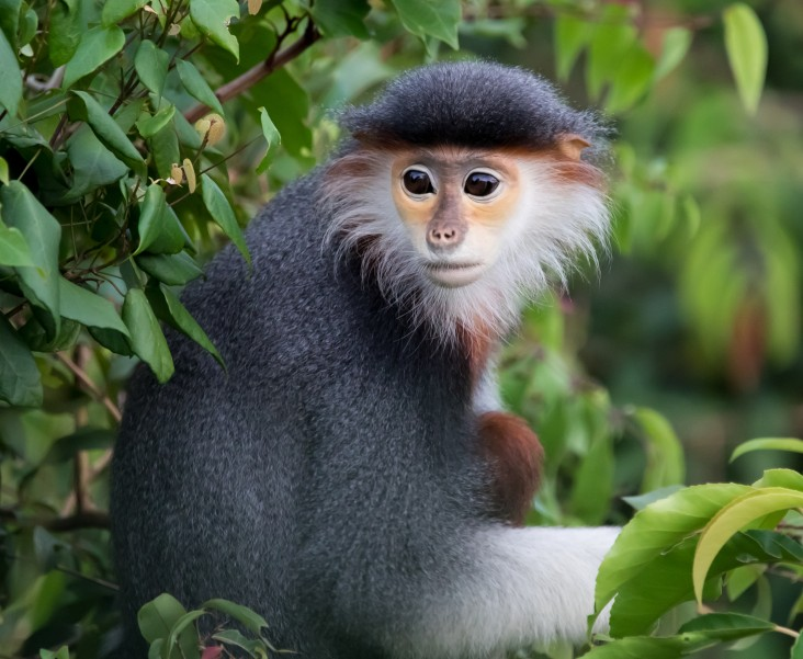 A red-shanked douc langur spotted in Son Tra Peninsula, Danang, Vietnam.