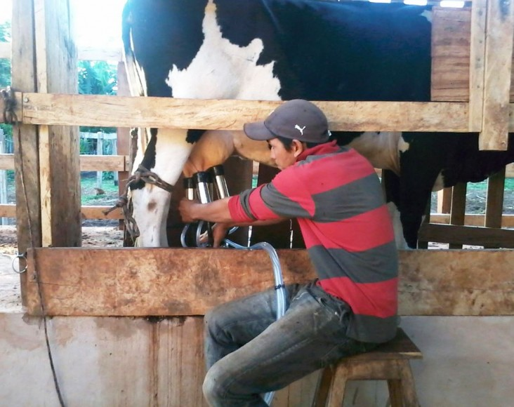A member of Cooperative Liberación Norte milks his cow.