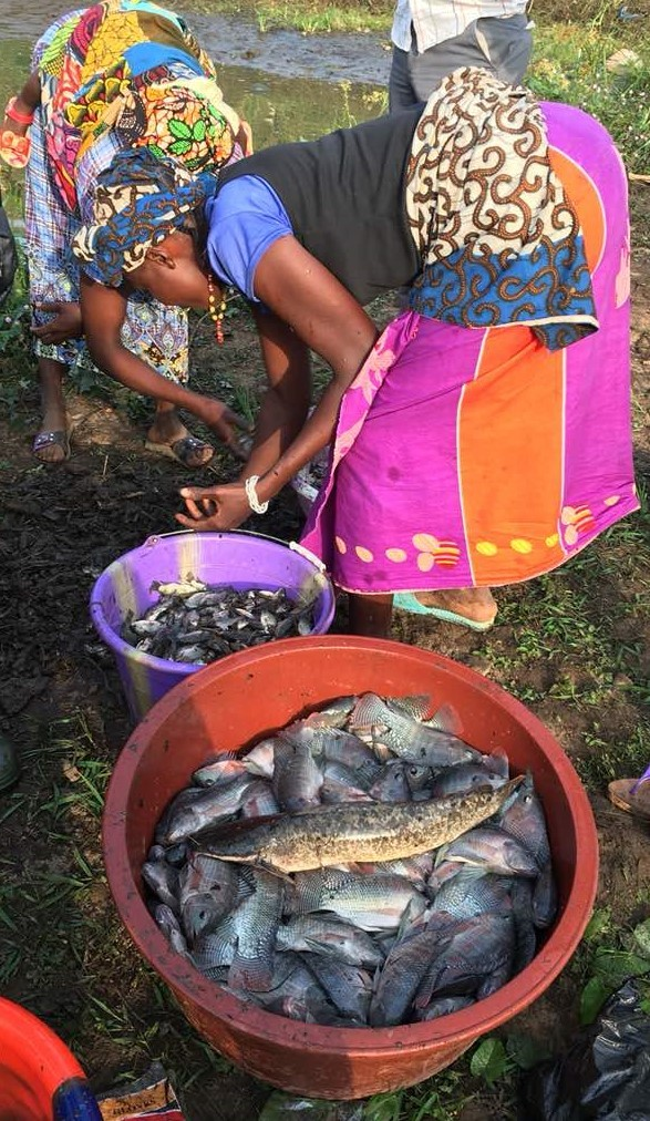 USAID is working to help transform fish-farming into income earning business for small scale farmers in Sierra Leone.