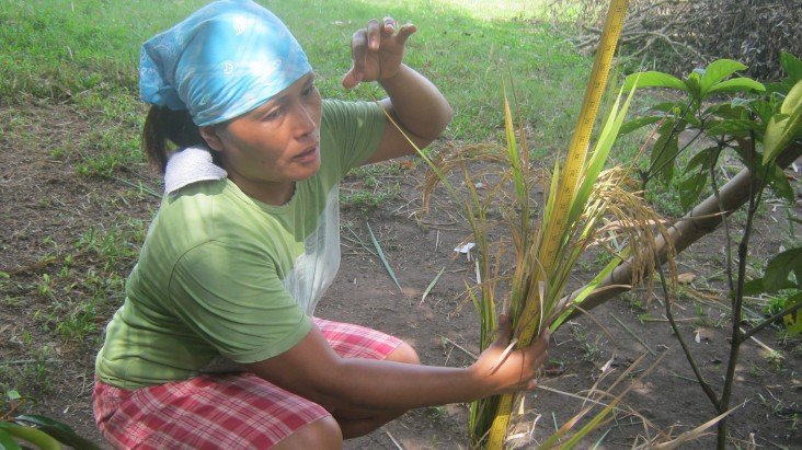 In barangay San Roque Madawon in Nabua, Camarines Sur, farmers measure plant height and count the number of panicles.