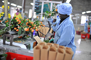 Photo of packing flowers for export