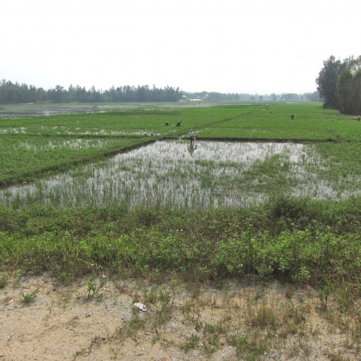Rice paddies within new development area in Vinh Thanh