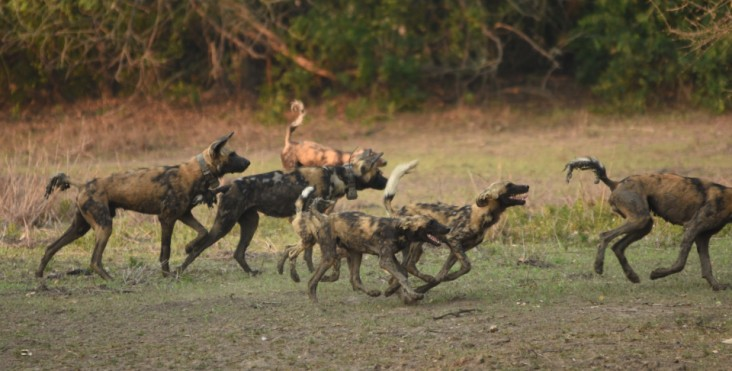 Wild dogs in Gorongosa