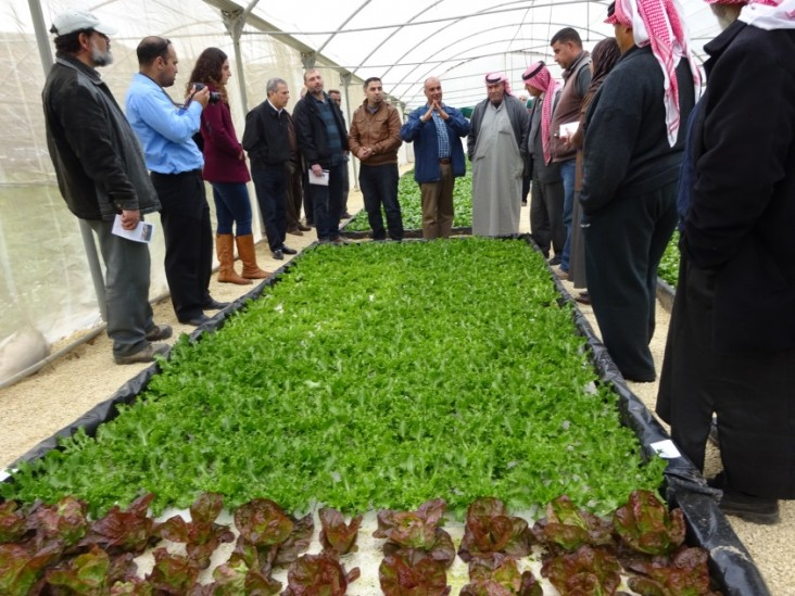 Hydroponic lettuce production at a farm in Zarqa.