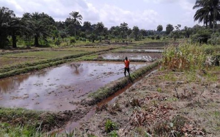Liberia Rice Production Using Bunds
