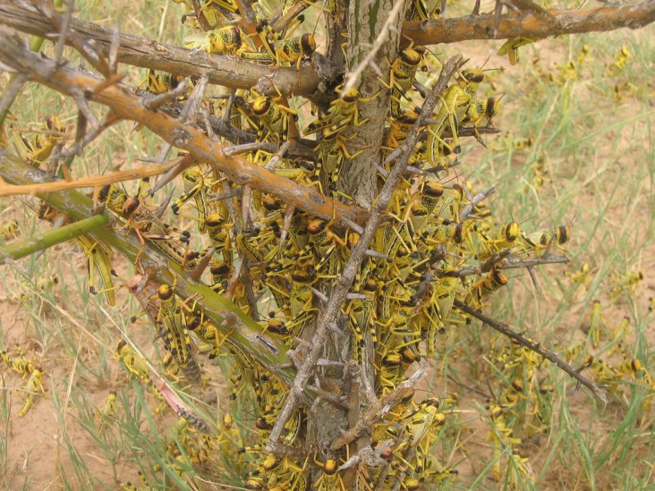 Locust swarms can include tens of millions of insects. Wherever they land, crop or pasture loss can be 100 percent within hours.