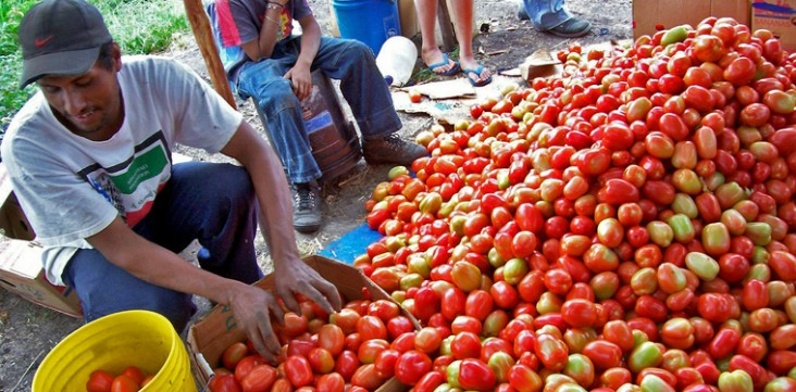Improving tomato crop production in Honduras.