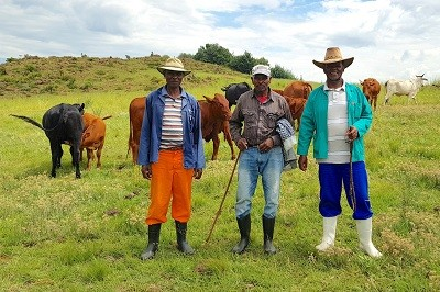 A group of men with cattle