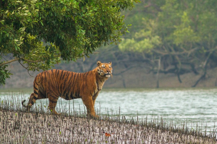 Hope for Tigers in Bangladesh