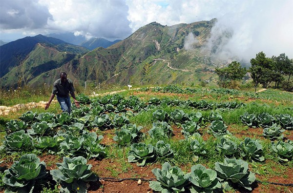 John Atis, WINNER's regional director for Kenscoff, indicates cabbage grown at the Wynne Farm outside of Port-au-Prince, Haiti.