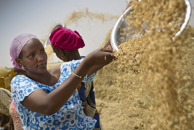 Bineta Dioum Bam, the president of a local women's group, winnows rice – a main staple in Senegal – in a newly irrigated perimeter in the country's north.