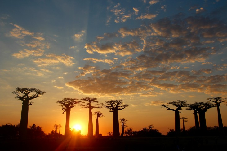 Madagascar's most iconic baobab tree species, the Adansonia grandidieri Baillon, are economically valuable and culturally emblematic of the nation