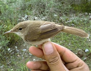 The large-billed reed warbler is just one example of the many rare or unusual species that make the beautiful Wakhan Corridor ev