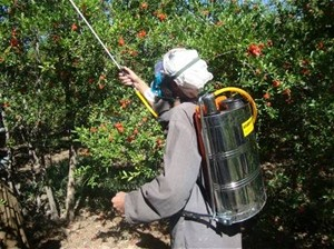 USAID/AVIPA's insect-fighting spray saves the livelihoods of thousands of Kandahari orchard farmers.