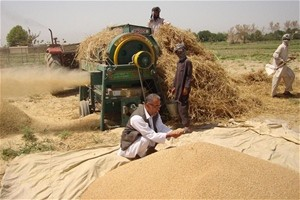 A man inspects a pile of recently threshed wheat.