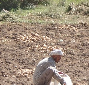 Folari Valley farmer harvesting potatoes. Higher yields resulted from agricultural inputs purchased with cooperative loans.