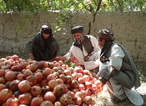 Haji Abdul Qavie and his workers inspecting the pomegranate harvest.