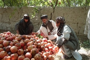 Haji Abdul Qavie and his workers examine a pomegranate harvest. A major road project in Arghandab allows the farmer to bring his
