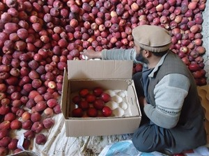 Farmer is sorting and grading apples to be stored in cool rooms in Wardak Province