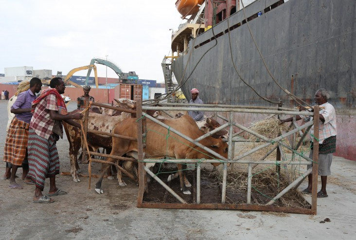Dock workers guide cattle to a lift that loads them onto a ship headed for the Middle East.