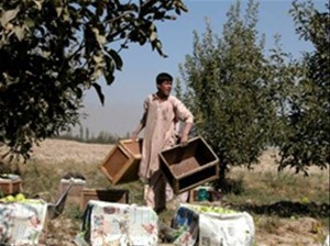 The 20-year-old son of Habiabdul Habib, owner of the 10,000-tree Paghman orchard, loads wooden crates full with apples. After su