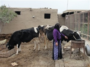 Hands-on trainings and a female para-veterinarians make dairy farming easier – and more lucra-tive – for Afghan women