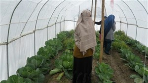 Koko Shirin checks on the cabbages growing in her greenhouse