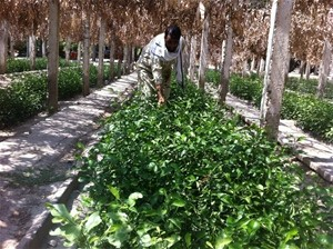 Afghan farmers are replacing disease-prone crops with imported virus-resistant plants.