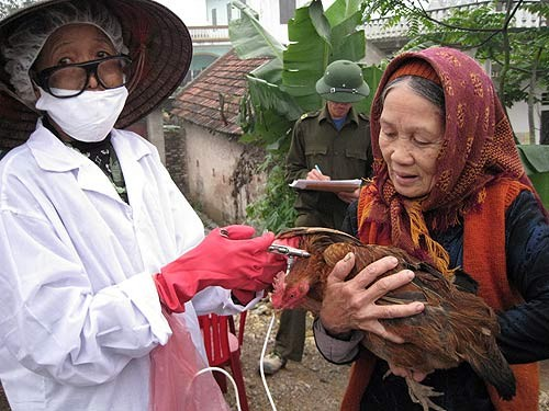 A farmer in Ha Nam Province has her chicken vaccinated.