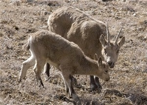 The ibex is now one of Afghanistan's protected species.