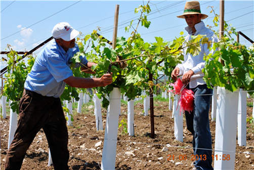 New varieties, technologies and practices put table grape industry on path to growth.