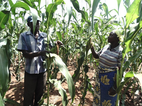 Mutua Kaite and his wife in their maize farm, grown under irrigation thanks to USAID and UN World Food Program (WFP)-supported farmer field schools.