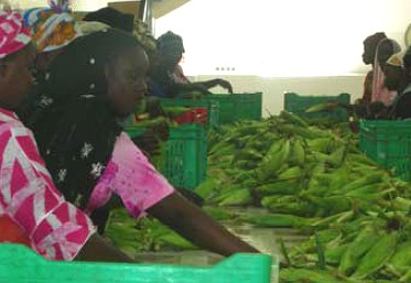 Van Oers, a green bean processing company in Senegal
