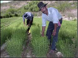 Farmers from Bolivia's high valleys show off their crops generated by USAID's oregano project.