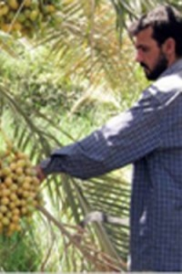 Fresh Date Exports End 20-Year Lull