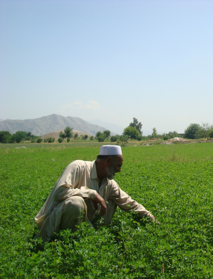A farmer examines his crop of alfalfa