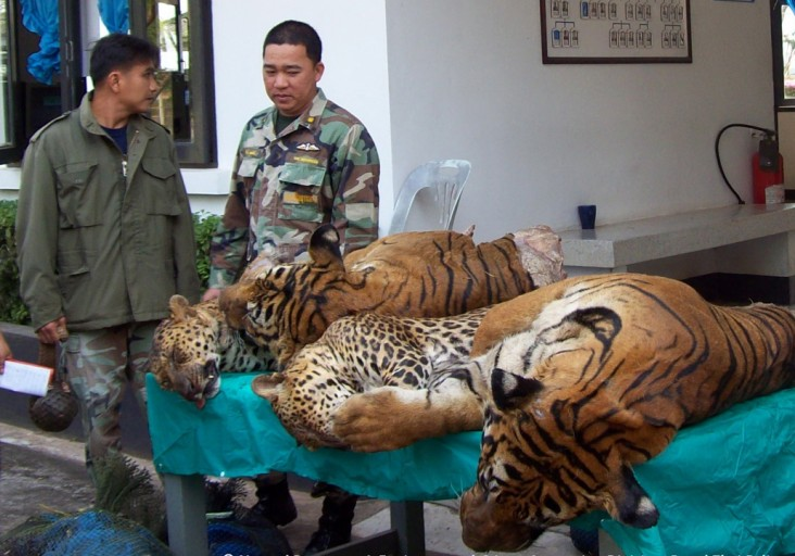 Thai authorities with smuggled tigers