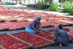 A USAID-funded project is working with southern Kyrgyzstani farmers to dry tomatoes for export to the United States and Europe.