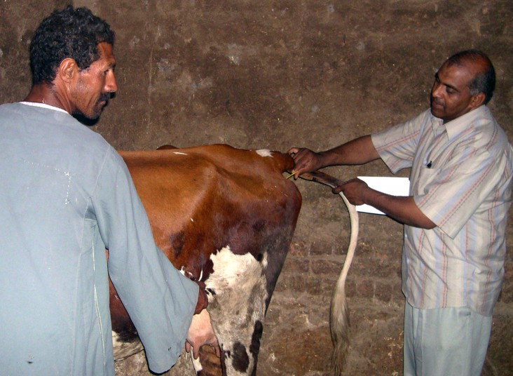 Veterinarian Mohamed El Sherif, right, performs a check-up during a regular visit to a small farm in Menya.