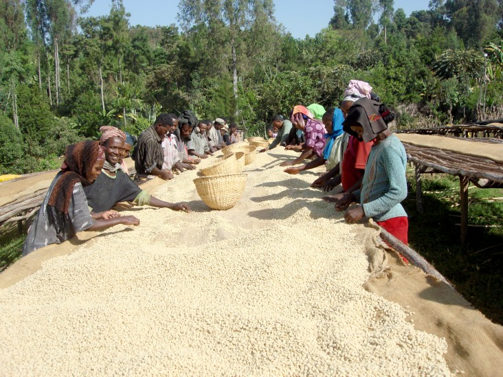 Some of the 280 workers at Tariku Midergo Coffee Company