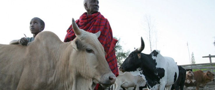 A Maasai father and son tend to their cattle in Kitengela, Kenya.