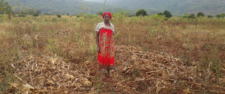 After harvesting her maize field outside Liwonde Forest Reserve, Edna Ndalama adheres to conservation agriculture practice and keeps the maize stalks in the field instead of the traditional practice of burning them.